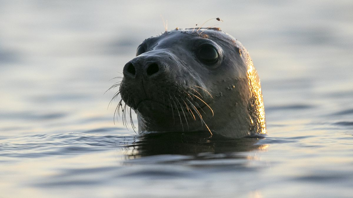 A seal pokes his head out of the water in Casco Bay.