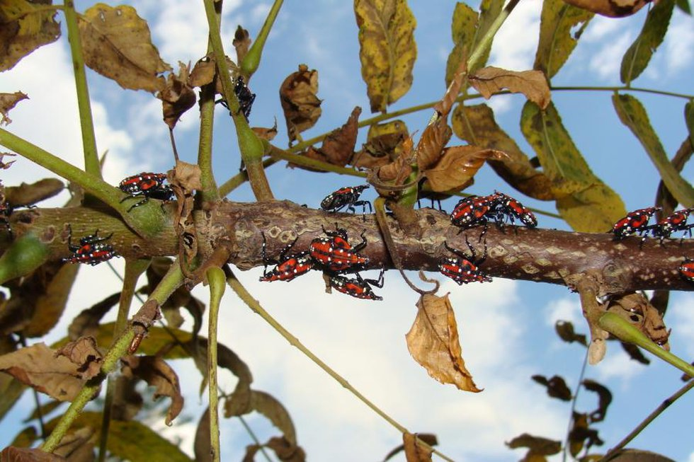 The Vermont Agency of Agriculture is on the offensive in search of a new invasive species they...