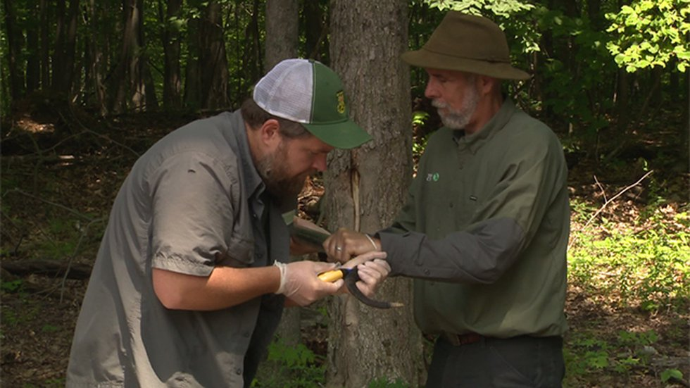 Tagging timber rattlesnake with a PIT chip