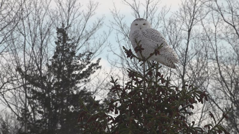 Rice Lumber employees say they first spotted the snowy owl on their property Nov. 30.