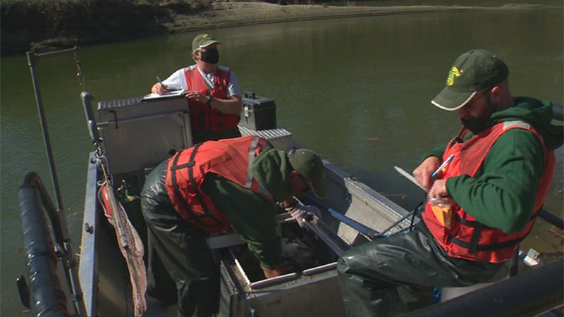 Vermont Fish and Wildlife biologists sample walleye in the Winooski River.