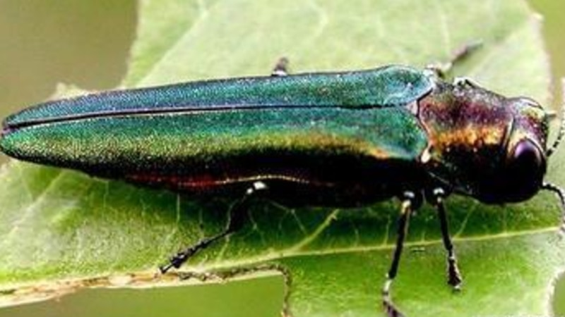Emerald ash forer-File photo