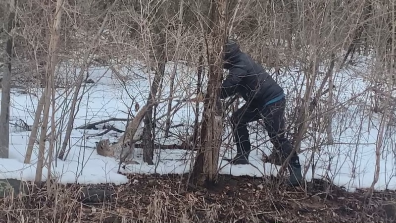Kara and Chris Quinn free a bobcat tangled up in a barbed wire fence near Vergennes.
