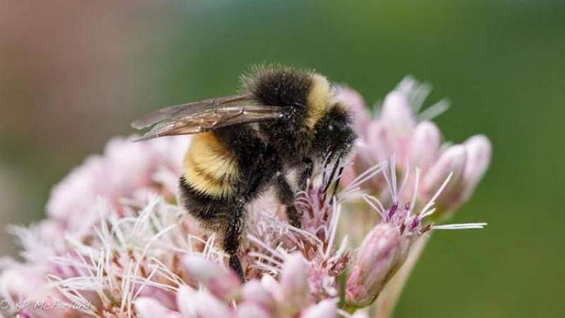 A Yellow-banded Bumble Bee (Bombus terricola) nectaring Joe-pye Weed.