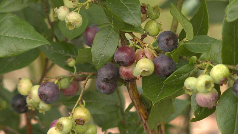 Blueberry season is off to a soggy start in our region.