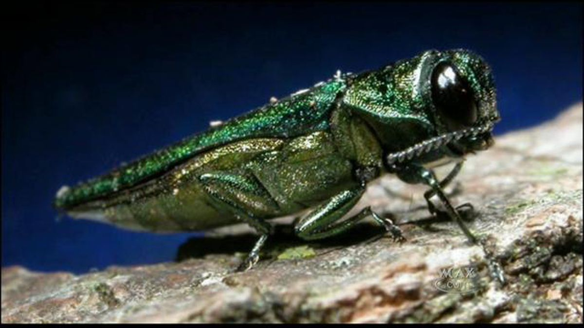The emerald ash borer, first found in Vermont in 2018, is now confirmed in eight Vermont counties.