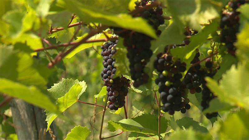 Grapes growing at the Ellison Estate vineyard in Grand Isle.