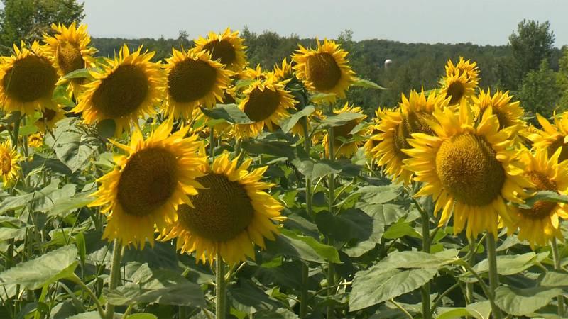 A sunflower spectacular is underway in St. Albans.