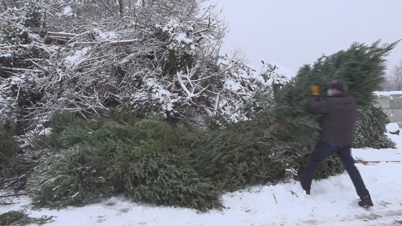 The Chittenden Solid Waste District will turn your Christmas trees into electricity.