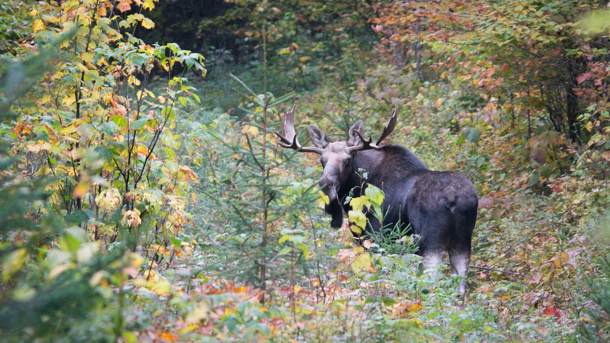 A moose at Victory Basin Wildlife Management Area in Vermont.
