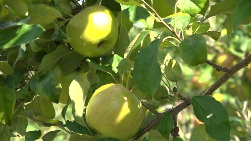Apple picking season is just around the corner.