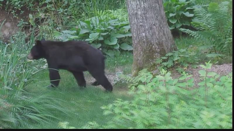 Bears are attracted to the food scraps in your compost bin.