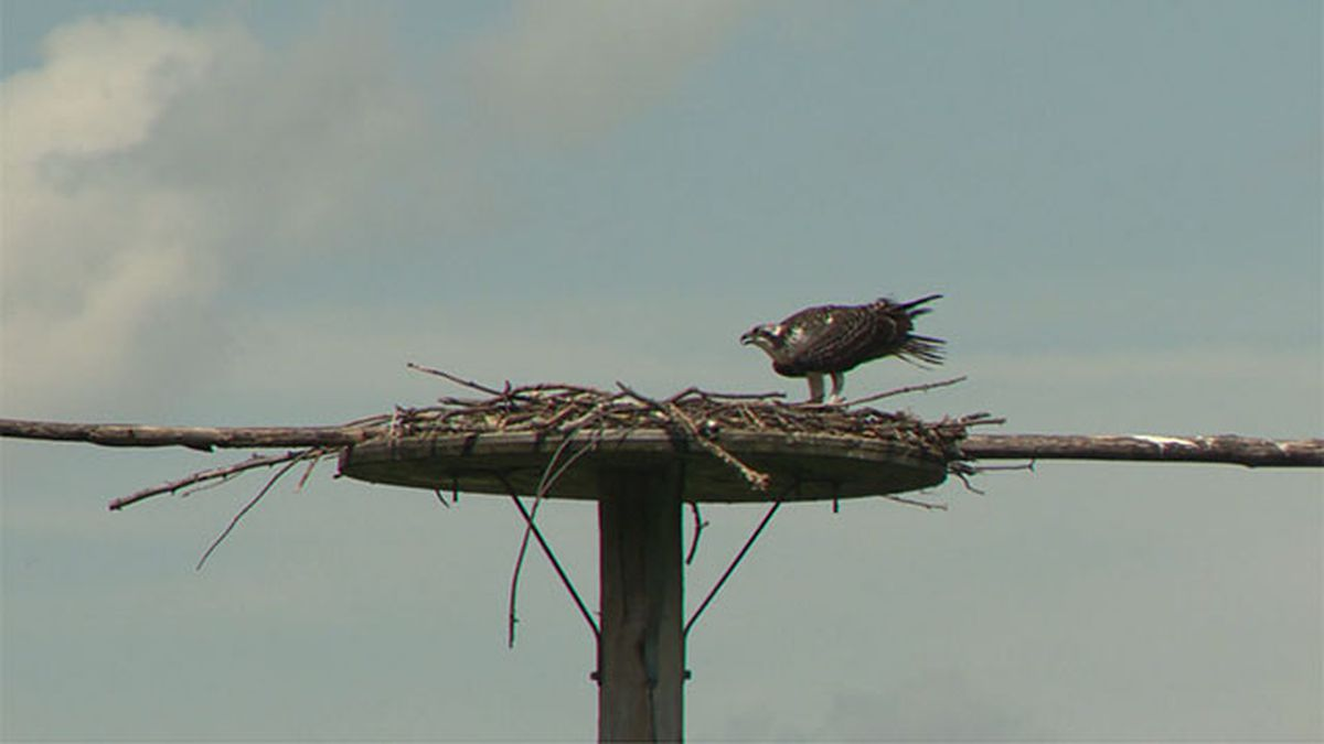 Arrowhead Lake osprey at nest