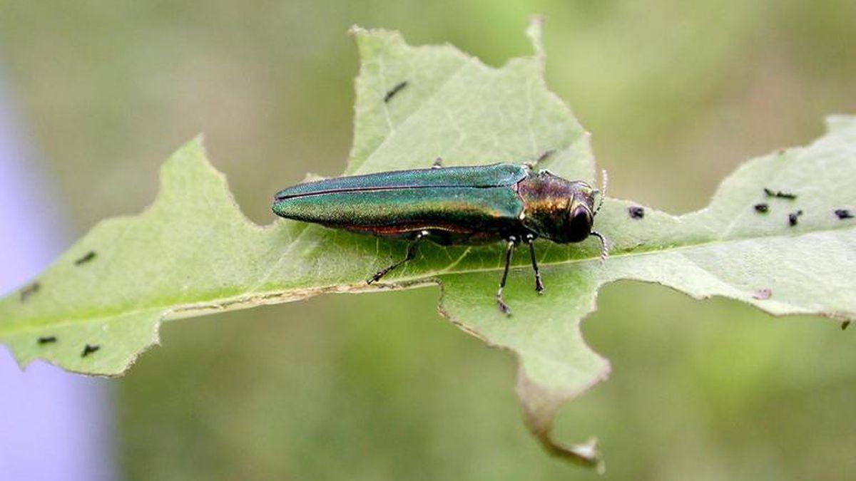 Emerald ash borer adult with feeding damage to ash leaf.