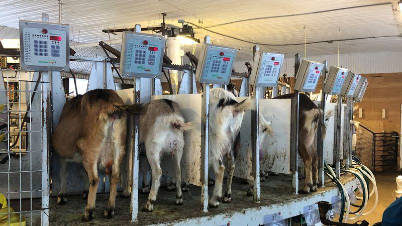 Goats at Joneslan Farm