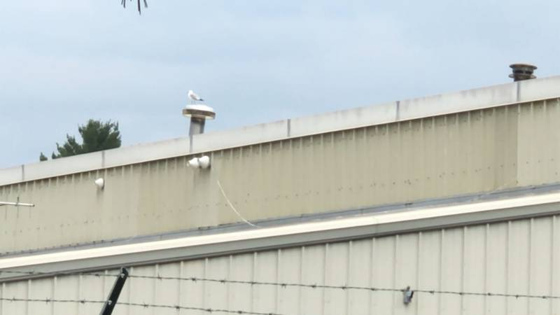 A plan to scare off nuisance seagulls is ruffling some feathers in Williston.